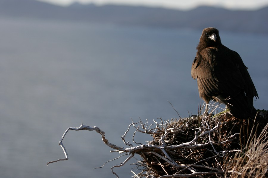 A Caracara lands on a branch on Cape Horn Chile