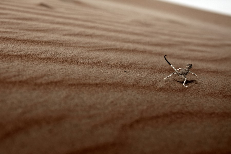 A lizard runs across the sand dunes in the Empty Quarter in the United Arab Emirates.