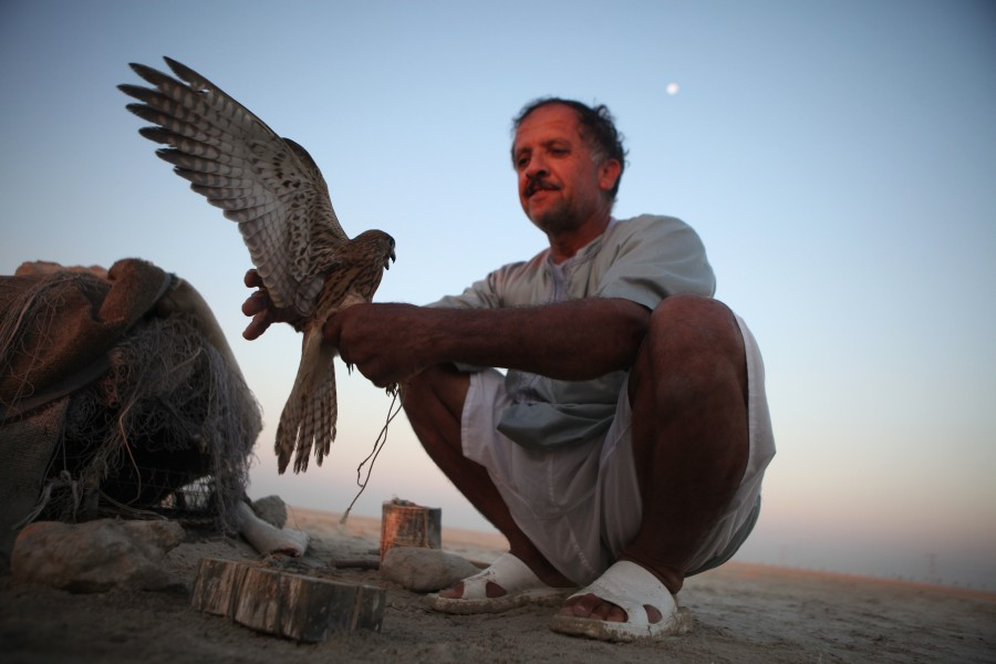 Ibrahim Ali Shams handles a newly captured falcon on a desert island off the coast of Abu Dhabi. Ibrahim used nets and traditional trapping methods and presents the prized birds as gifts.