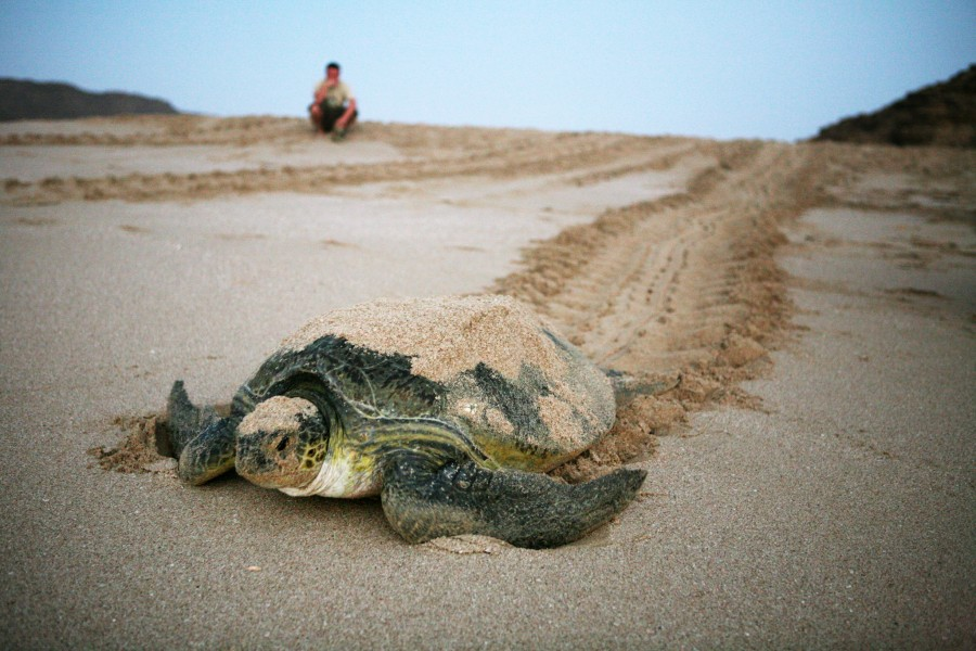 A tourist watches a green sea turtle return to the sea after spending the night laying her eggs on the sandy beach in Oman.