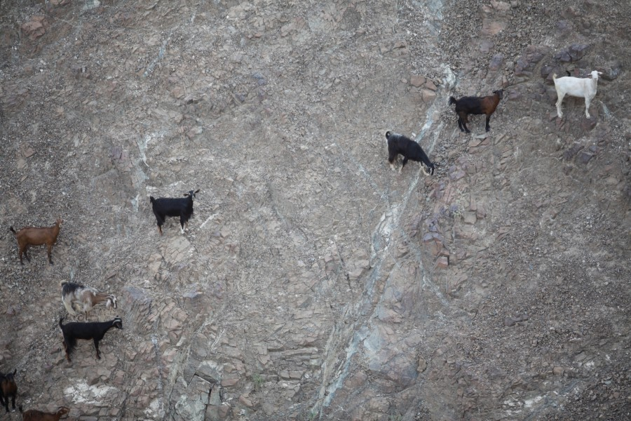 Goats climb a rock face in the mountains near Nahwa, United Arab Emirates.