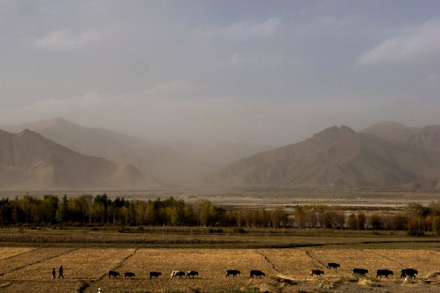 A farmer and his son drive a heard of cattle across a field in Tibet.