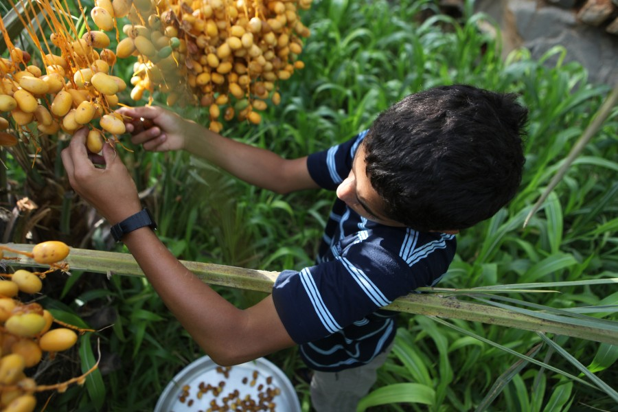 A boy picks dates from his family's date palms in Misfat Oman