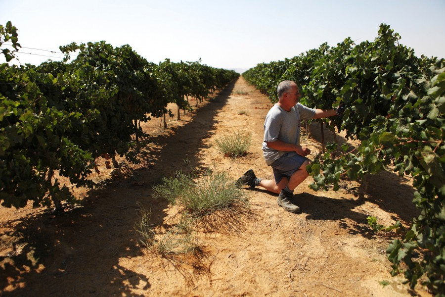 The vinter at Kibbutz Sde Boker examins the grapes growing in the Negev Desert in Isreal